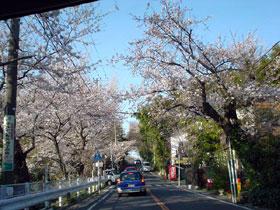 鎌倉山の桜トンネル