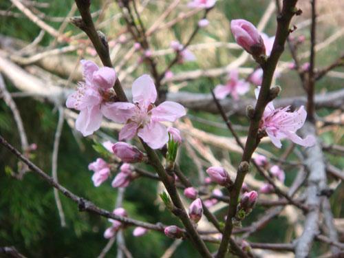今日の桃の花